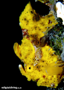 Profile image of Clown Frogfish. D200 and 105mm lens. by David Henshaw