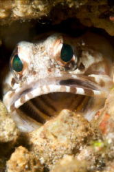 Say Aaaaaah. Jawfish posing for the camera. 60mm lens. by Steve De Neef