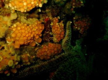 """ Estrella de Mar "". Starfish in Robinson Crusoe Island, ... by Andrés Sendra R."
