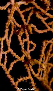 2 orange pygmy's by Dave Baxter