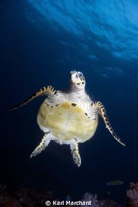 Hawksbill Turtle in Free fall. by Karl Marchant