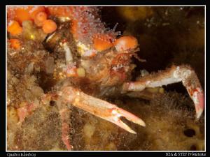 Decorated crab. Quadra Island, BC. Canon G10 & Inon D2000. by Bea & Stef Primatesta