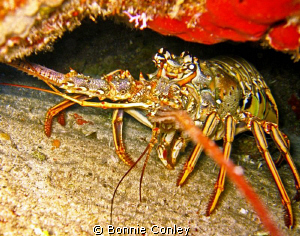 Lobster seen in Freeport Bahamas May 2009.  Photo taken w... by Bonnie Conley