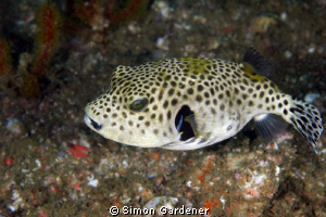 pufferfish  shot with nikon D70s with 70mm macro by Simon Gardener