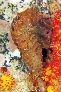 seahorse shot with nikon D70s with 70mm macro by Simon Gardener