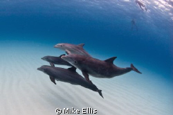 A small Pod Of Bottlenose Dolphin (Tursiops truncatus) Sw... by Mike Ellis
