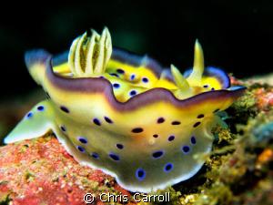 Chromodoris kuniei taken off Puerto Galera with Canon Pow... by Chris Carroll
