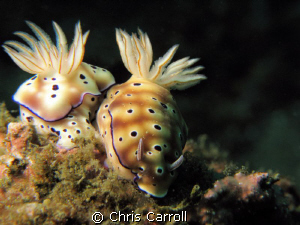 A pair of risbecia tryoni taken off Puerto Galera with Ca... by Chris Carroll