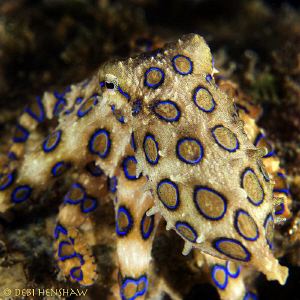 """""""In the shadows"""" Blue Ring Octopus D200 60mm +2 diopter by Debi Henshaw"""