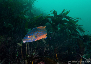 Cuckoo wrasse in the kelp off Inisturk, Connemara.