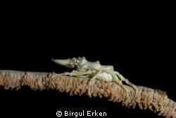 I photograph a xeno crab lembeh'te indonesia             ... by Birgul Erken