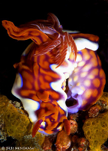 Ceratosoma magnificum laying eggs by Debi Henshaw