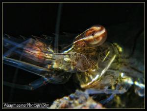 Shrimp Eye (Periclimenes tenuipes) - Tulamben, Bali (Cano... by Marco Waagmeester