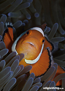 Portrait image of the simple Anemonefish ... by David Henshaw
