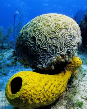 Brain Coral & Tube Sponge in the Cayman Islands -- though... by Eric Bancroft