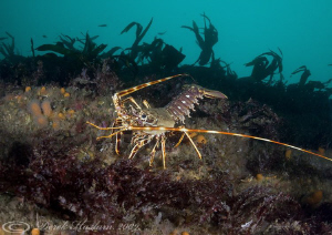 Crawfish. Insihturk. D3, 16mm, 2xtc. by Derek Haslam