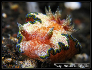 Girdled Glossodoris (Glossodoris cincta) - Tulamben, Bali... by Marco Waagmeester