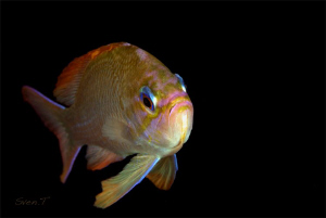 A curious anthias by Sven Tramaux