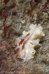Candy stripe flatworm. North Wales. D200, 60mm. by Derek Haslam