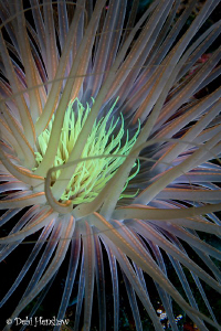 Tube anemone close up by Debi Henshaw