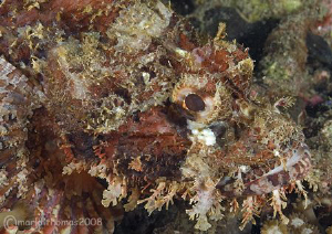 Disguise. Scorpion fish in Lembeh. Feb 08. D200 60mm. by Mark Thomas