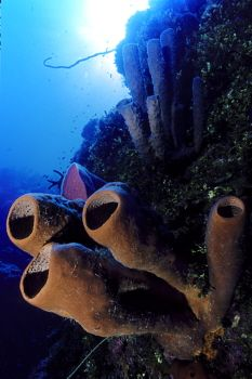 Tube sponges in the Cayman Islands by Eric Bancroft