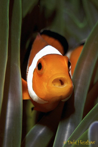 """""""Chokin"""" Yet another anemonefish with a tongue parasite by Debi Henshaw"""