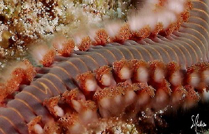 This image of a Bearded Fireworm was taken during a dive ... by Steven Anderson