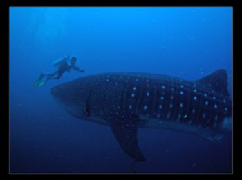 Mr.Big and Diver. Photo taken during a dive in Darwin Arc... by David Gallardo