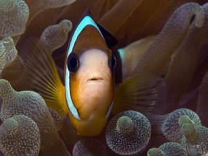 Anemonefish. East of Dili, East Timor. by Doug Anderson