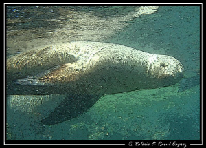 Picture taken with a Canon G9 in a sea lions colony (Cort... by Raoul Caprez