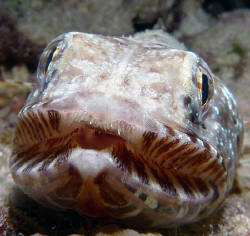 lizardfish straight on by Martin Dalsaso