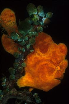 Lembeh Frogfish, Sulawesi by Erin Quigley