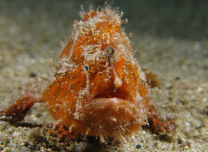 An orange Striated Frog Fish.  About two inches long.  Cr... by Juan Torres