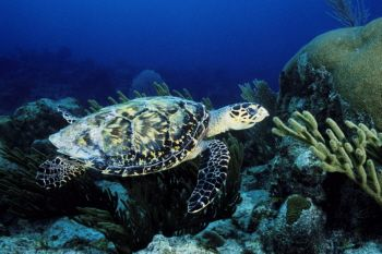 The Flying Hawksbill - in the Cayman Islands by Eric Bancroft