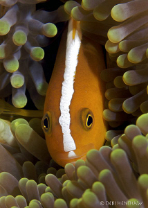 """Skunk Anemonefish"" by Debi Henshaw"