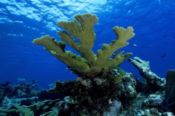 Elkhorn Coral in the Cayman Islands by Eric Bancroft