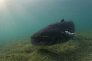 Well Catfish, (Silurus glanis) by Sven Tramaux