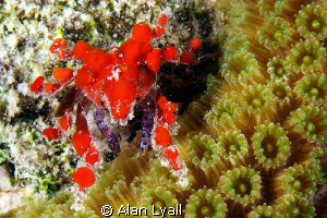 Cryptic teardrop crab - night dive in Bonaire by Alan Lyall