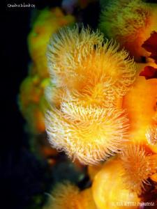 Short plumose anemone. Quadra Island, BC. Canon Ixus 980. by Bea & Stef Primatesta