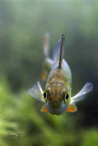European perch looking into the lens (Perca fluviatilis) by Sven Tramaux
