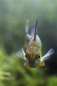 European perch looking into the lens (Perca fluviatilis) by Sven Tramaux