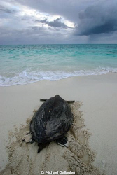 A turtle returns to sea after nesting on Heron Island, Au... by Michael Gallagher