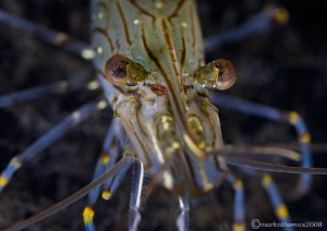 Common prawn.