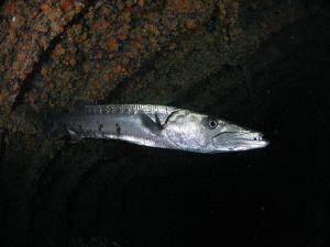 Great Barracuda by Juan Torres