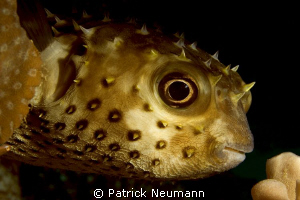 pufferfish Eilat, Israel by Patrick Neumann