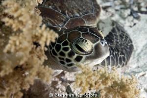 Baby green turtle taken behind Yolanda Reef. by Stephan Kerkhofs