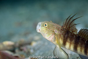 Tailspot Goby taken in Na'ama Bay with 180mm. by Stephan Kerkhofs