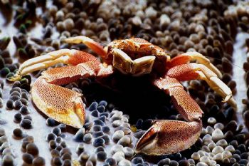 Sentinel. Porcelain Crab. Derewan. MMIII. Was taking shot... by John Akar