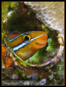 Little Blenny in a hole - Tulamben, Bali (Canon G9, D2000... by Marco Waagmeester